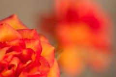 Fresh orange rose. Beautiful fresh orange rose in the garden royalty free stock photography