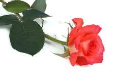 Fresh orange rose isolated on white background. Lovely fresh orange rose isolated on white background stock image