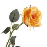 Fresh orange rose on a white background Royalty Free Stock Image