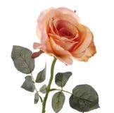 Fresh orange rose on a white background Stock Photography