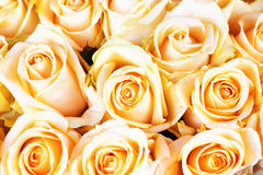 Fresh orange roses with green leaves Stock Image
