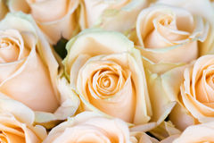 Fresh orange roses with green leaves Royalty Free Stock Photos