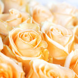Fresh orange roses with green leaves Royalty Free Stock Image