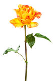 Fresh orange roses Royalty Free Stock Photo