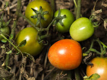 Fresh orange tomatoes. Still on the plant, close up Royalty Free Stock Photo