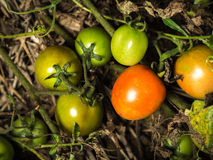Fresh orange tomatoes. Still on the plant, close up Royalty Free Stock Photos