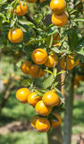 Fresh orange on tree Royalty Free Stock Image
