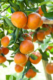 Fresh orange on tree Royalty Free Stock Photos