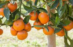 Fresh orange on tree Royalty Free Stock Images