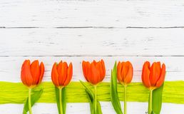 Greeting card background with beautiful orange colored tulips spring flowers border on white wood with copy space. Fresh orange tulips on green ribbon border and royalty free stock photo