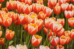 Fresh orange tulips in warm sunlight Stock Photography