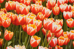 Fresh orange tulips in warm sunlight Stock Photos