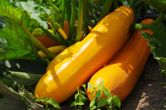 Fresh orange vegetable marrows on the earth. In greens of leaves stock images