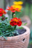 Fresh orange yellow autumn marigold flower in the clay flower pot, Latin name Tagetes. Floral background Stock Images