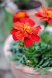 Fresh orange yellow autumn marigold flower in the clay flower pot, Latin name Tagetes. Floral background Stock Image