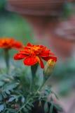 Fresh orange yellow autumn marigold flower in the clay flower pot, Latin name Tagetes. Floral background Royalty Free Stock Photos
