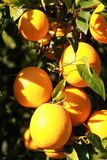 Fresh oranges. On the trees in the orange grove stock photo