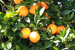 Fresh oranges royalty free stock images