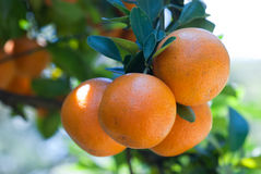 Fresh Oranges. Close-up. A branch with several oranges Royalty Free Stock Image