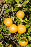 Fresh oranges. Ripe oranges on the tree Royalty Free Stock Photography