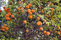 Fresh oranges on green tree Royalty Free Stock Photo