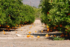 Fresh oranges hanging on orange tree Stock Images