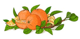 Fresh Oranges and Leaves Composition. Vector oranges EPS8 illustration. No effects. All items are finished, grouped separately, and by colors and lines Stock Images