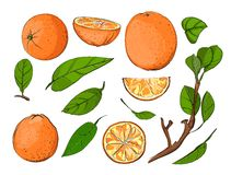 Fresh Oranges and Leaves Set Stock Image