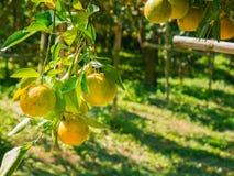 Fresh Oranges Thai honeysuckle species oranges pile. Royalty Free Stock Image