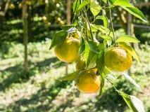 Fresh Oranges Thai honeysuckle species oranges pile. Royalty Free Stock Photo