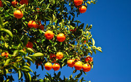 Fresh Oranges on the Tree. Fresh navel oranges ripening on the tree Royalty Free Stock Photo