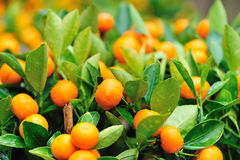Fresh oranges on tree Stock Images