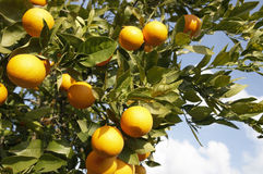 Fresh Oranges on Tree in the Sun Stock Image