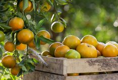 Fresh oranges on a wooden box Stock Images