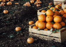Fresh oranges in the wooden box Stock Photos