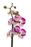 Fresh orchid Royalty Free Stock Photo