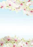 Fresh orchid border Royalty Free Stock Photography