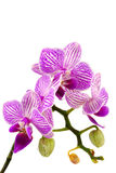 Fresh orchid flower Royalty Free Stock Images