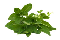 Fresh oregano Stock Photos