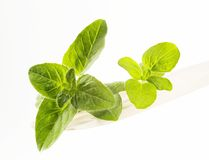 Free Fresh Oregano Stock Image - 10691881