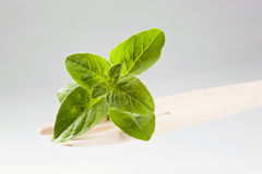 Fresh oregano Stock Photography