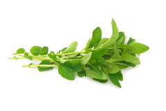 Fresh oregano Royalty Free Stock Image