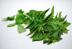 Fresh oregano Stock Image