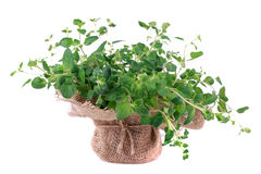 Fresh oregano Stock Images