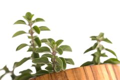 Fresh oregano branches. Branches of fresh oregano in a container of olive tree wood stock photography