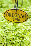 Fresh Oregano Herb Royalty Free Stock Photos