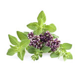 Fresh oregano herb. With flowers on white stock photography