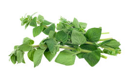 Fresh oregano herb Royalty Free Stock Photography