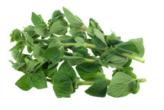 Fresh oregano herb Stock Photo