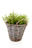 Fresh oregano herb in bucket Royalty Free Stock Photo
